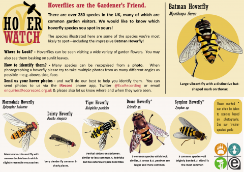 Beginners Guide to Identifying Hoverflies