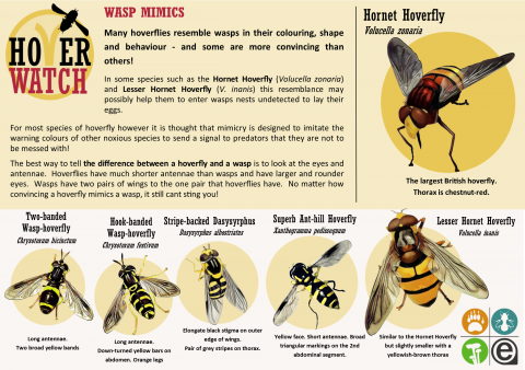 HoverWatch ID Guide Wasp Mimics