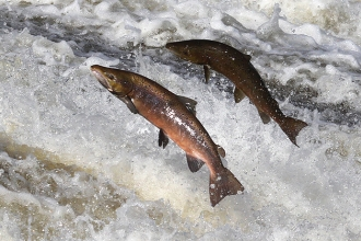 Atlantic Salmon - Google, labelled for resuse
