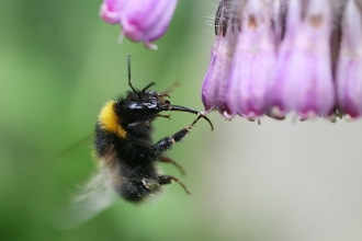 Garden bumblebee, busy at work