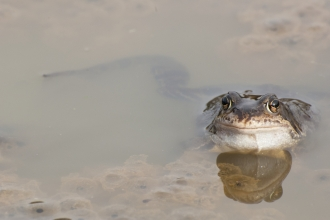 Common frog in water