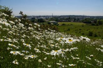 Ox-eye daisies on Portway Hill, part of Rowley Hills