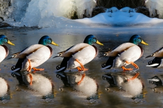 ducks marching across ice