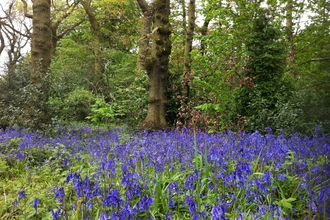 Bluebells at Turner's Wood