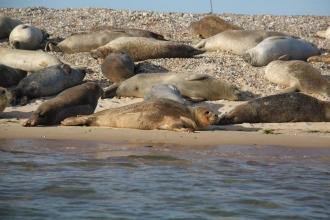 Seals in Norfolk