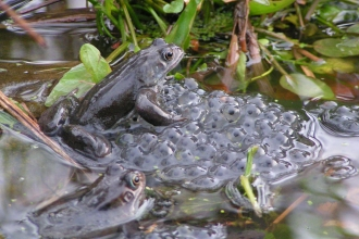 Common frog with Spawn