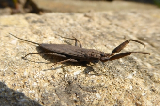 Water scorpion wildlife trust