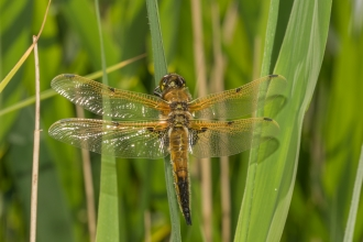 Four-spotted chaser (C) Janet Packham