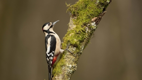 Great Spotted Woodpecker The Wildlife Trust For Birmingham