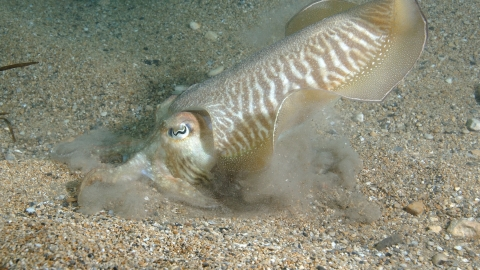 Cuttlefish digging for sand eels