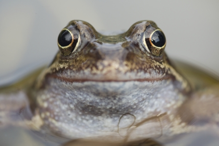 Frog close up of face