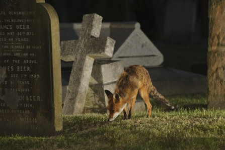 Fox in a cemetery