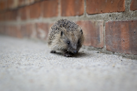Hedgehog walking along a wall