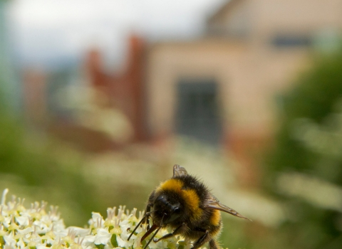 urban wildlife, bee
